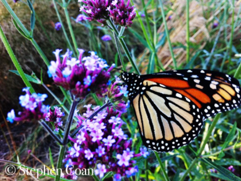 Your Friendly Butterfly and Honey Bee Garden or Creating a