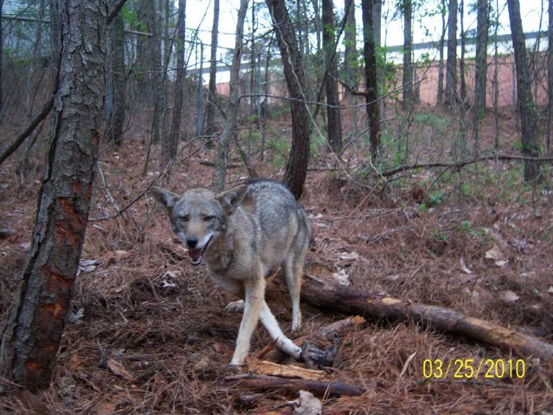 coyote vs wolf
