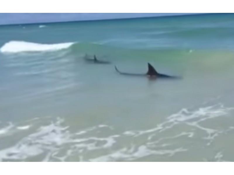 Watch Sharks Force Beach Closings Sarasota Fl Patch