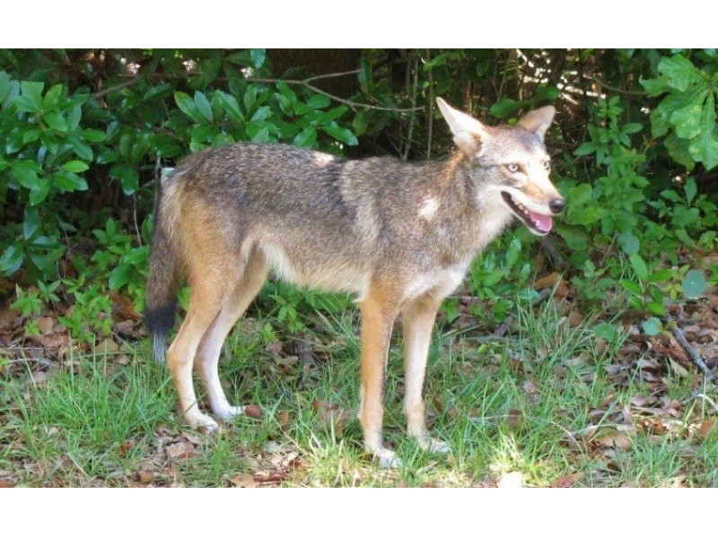 Coyotes On The Move In Summertime Florida Land O Lakes