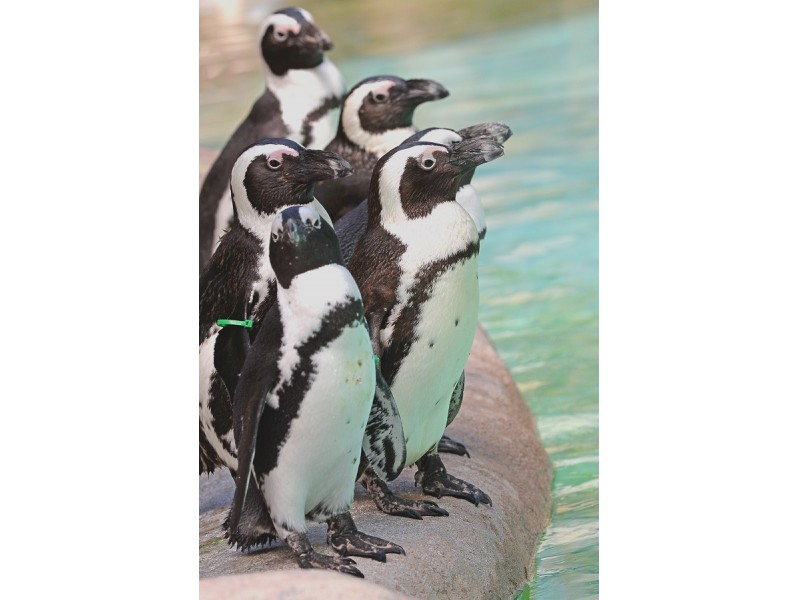 Lowry Park Zoo's African Penguins Getting Upgraded Digs