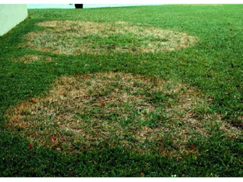 Natural Lawn Fungus Treatment