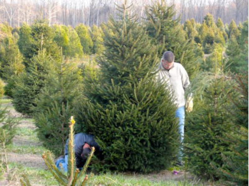 Christmas Tree Lighting In Red Bank Nj : Where are the christmas tree farms here s a list
