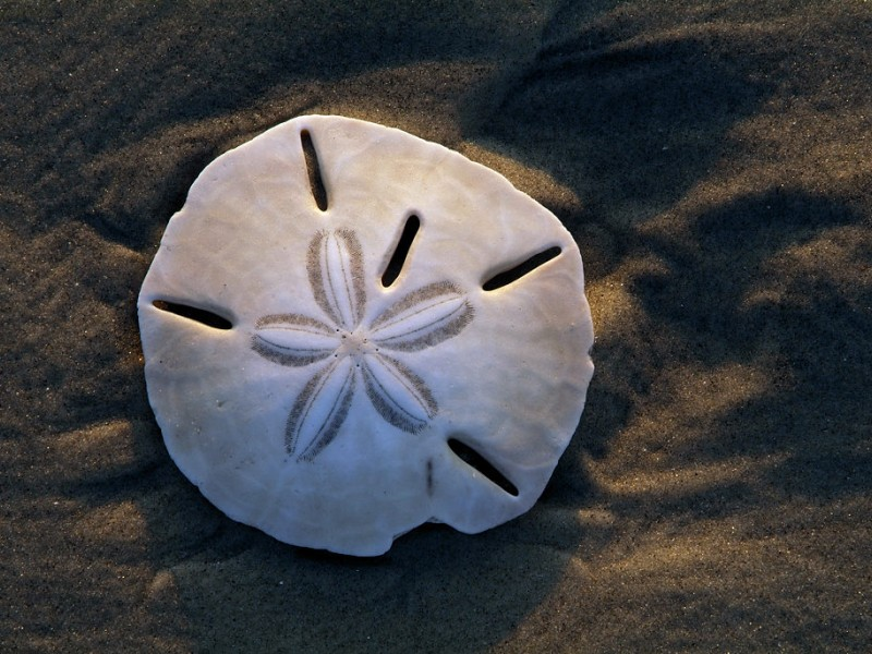 Secrets Of The Sand Dollar Barnegat Nj Patch