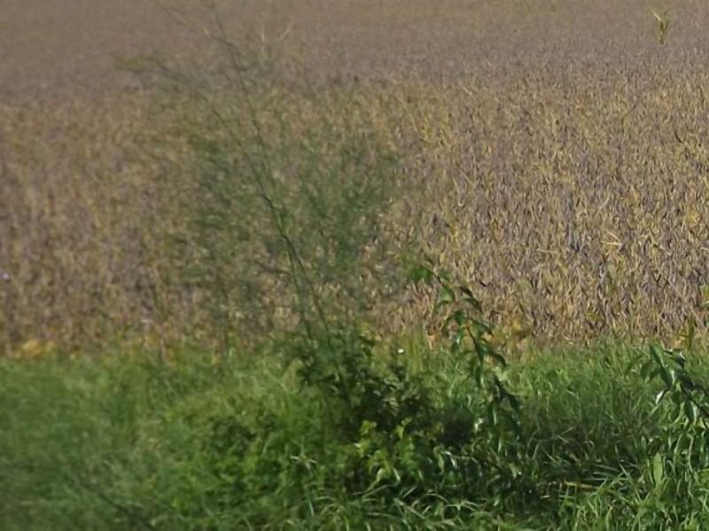 Wild Asparagus Plant Stalking Wild Asparagus
