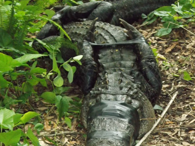 American Alligator Attacks Brutal Alligator Attack