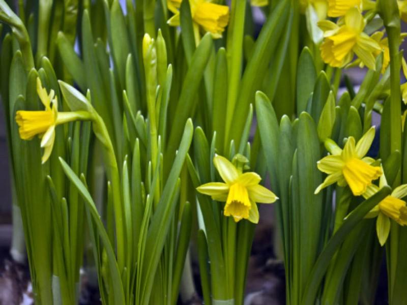 daffodil day - photo #44