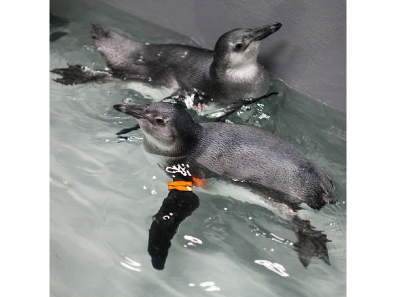 Awww ... Help Name Adorable Baby Penguins At Academy of Sciences