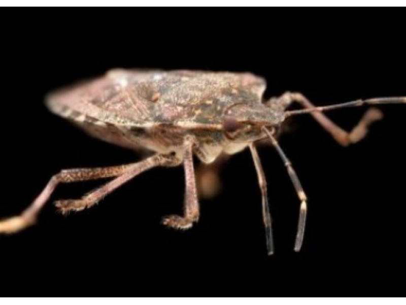 cost effective ways to get rid of stink bugs patch. Black Bedroom Furniture Sets. Home Design Ideas