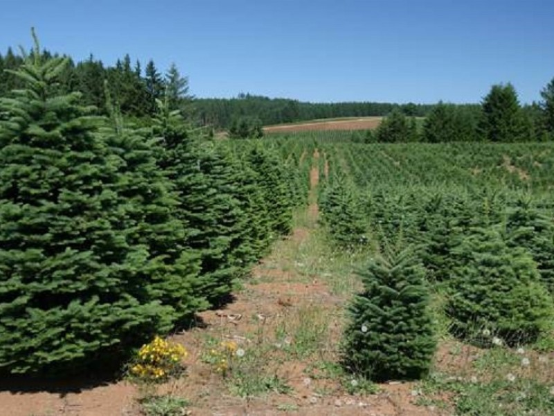Cut Your Own Locally Grown Christmas Tree Near Madison