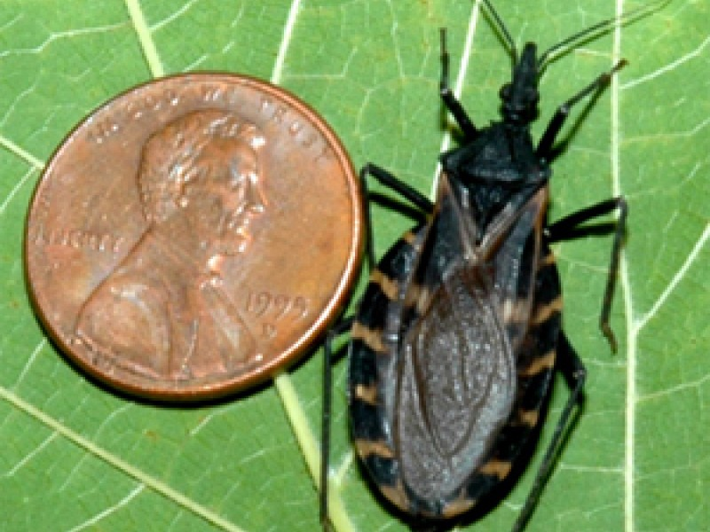 deadly 39 kissing bug 39 turns up in georgia reports virginia highland ga patch. Black Bedroom Furniture Sets. Home Design Ideas