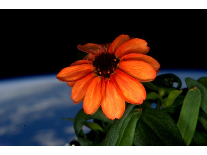 Astronauts Have Grown A Flower In Space For The First Time