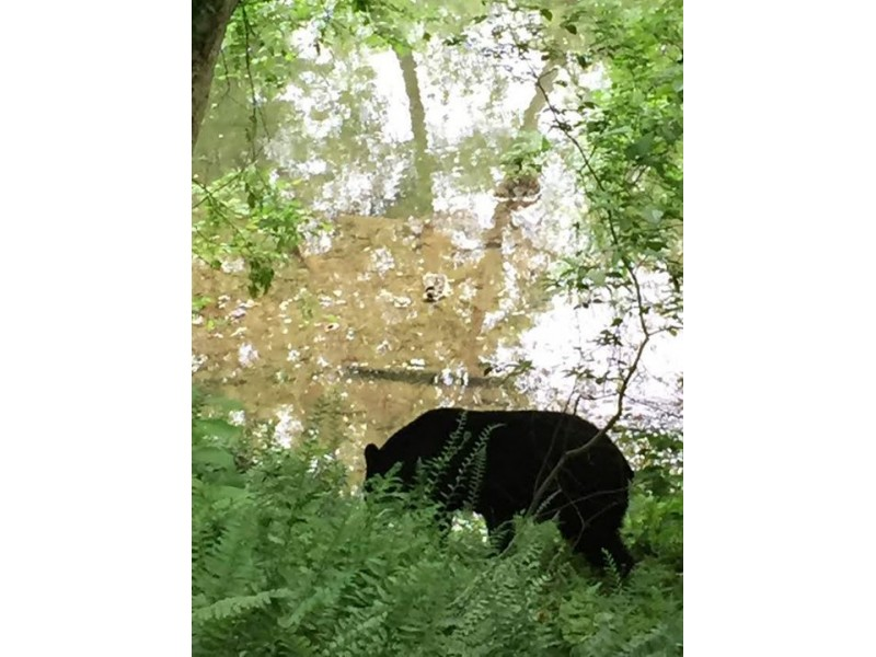 Bear spotted near Valley Green Inn