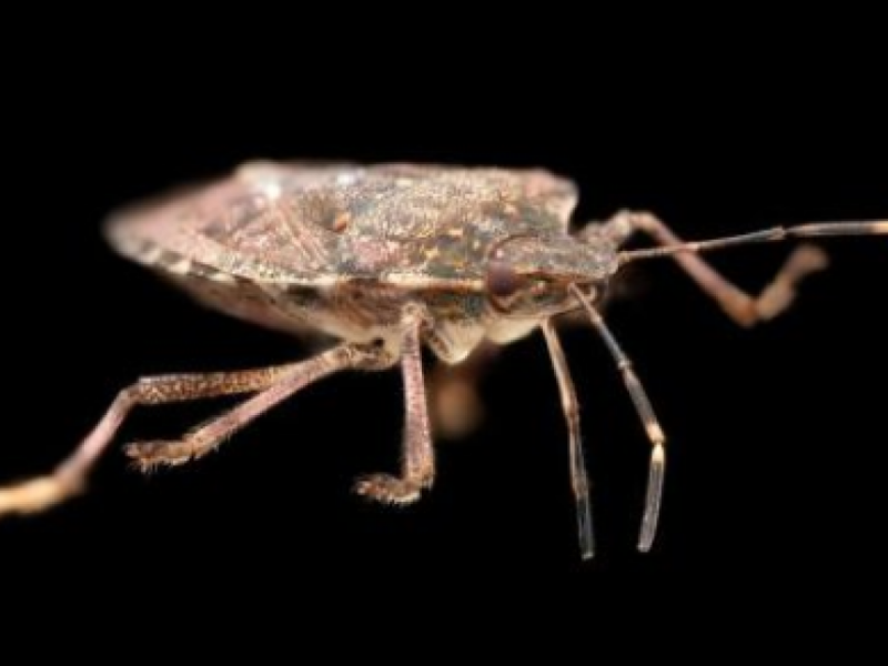 stink bug season is back here 39 s how to get rid of them patch. Black Bedroom Furniture Sets. Home Design Ideas