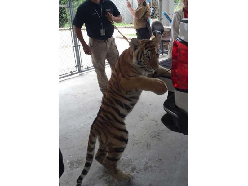 Conroe Police Seek Owner Of Loose Tiger Found Roaming