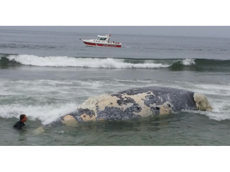 Humpback Whale Found Dead On Beach Struck By Ship Patch