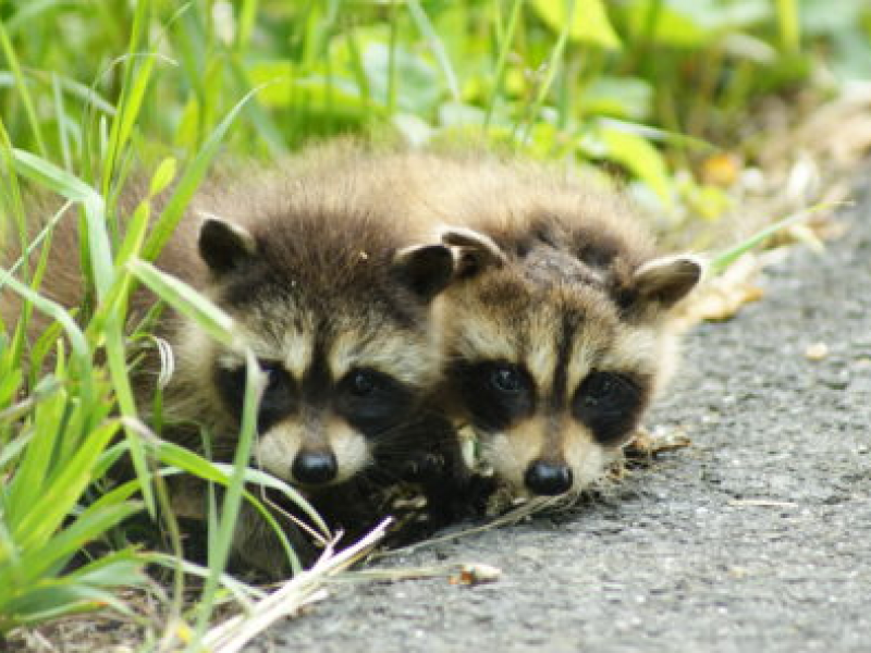 Dog Attacks a Raccoon with Rabies - Monroe, CT Patch Raccoon With Rabies