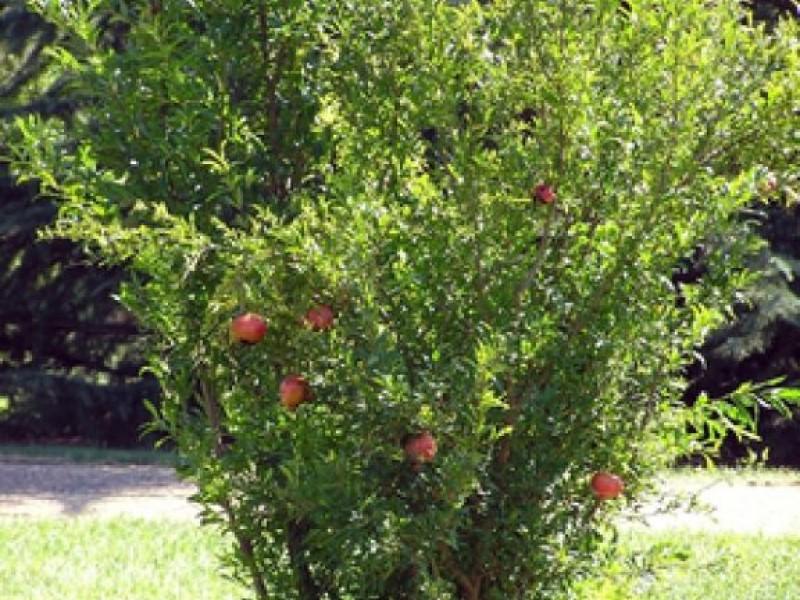 Pomegranate tree attractive edible landscape st pete