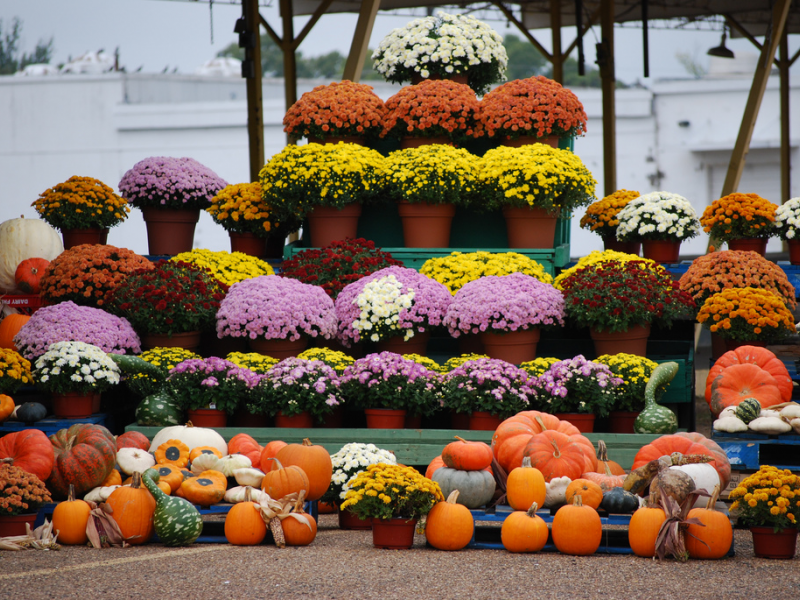 Fall Landscape Decorating With Mums Plymouth Mi Patch