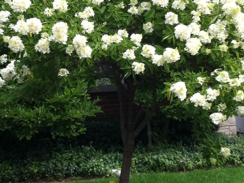 Nice Trees For Yards : Great Tree Blooming in AugustGood for Small Yards  Patch
