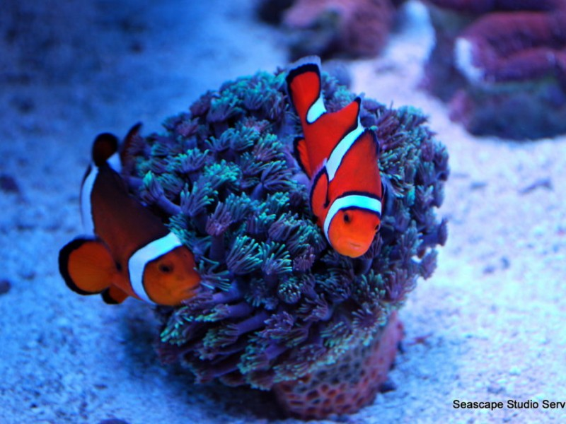 Fish store owner uses 39 finding nemo 39 3d release to educate for Clown fish care