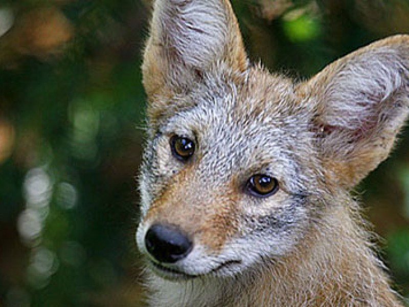 Coyote Alert! More Cat Attacks - Encino, CA Patch