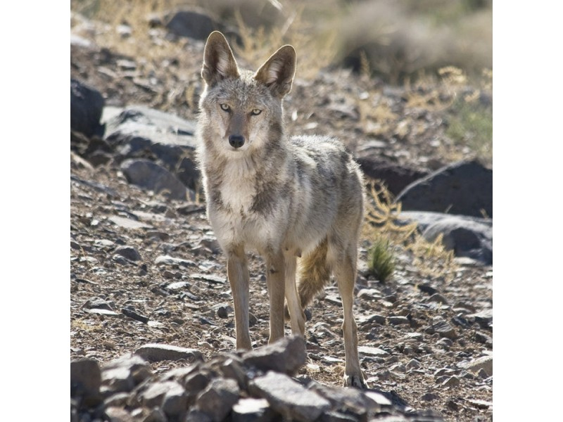 Trigo Possible Coyote Sighting In Fanwood Scotch Plains