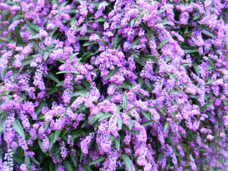 City Of San Leandro >> PLANT SPOTLIGHT – LILAC VINE/HARDENBERGIA VIOLACEA - San Leandro, CA Patch