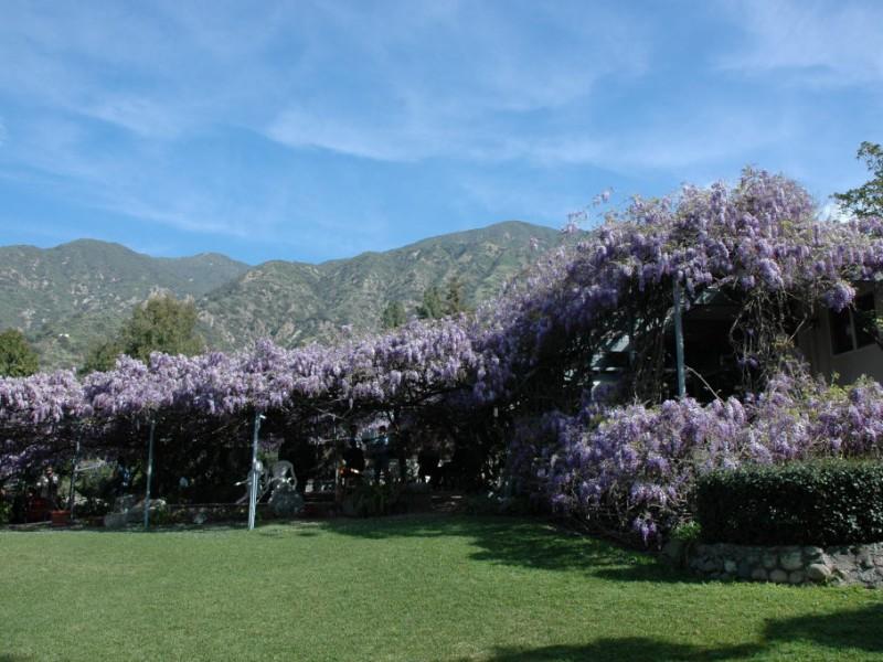 Sierra Madre Sierra Madre's Wistaria