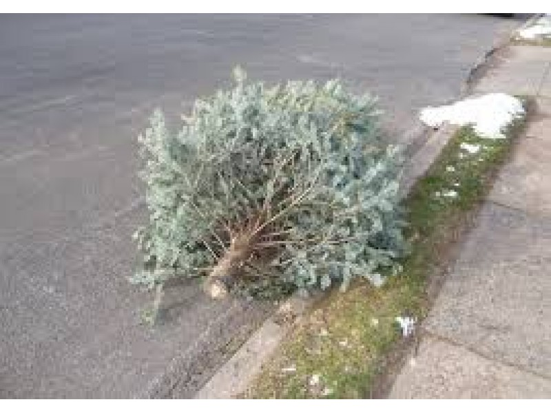 Christmas Tree Recycling Greenwich : Portsmouth begins christmas tree recycling jan