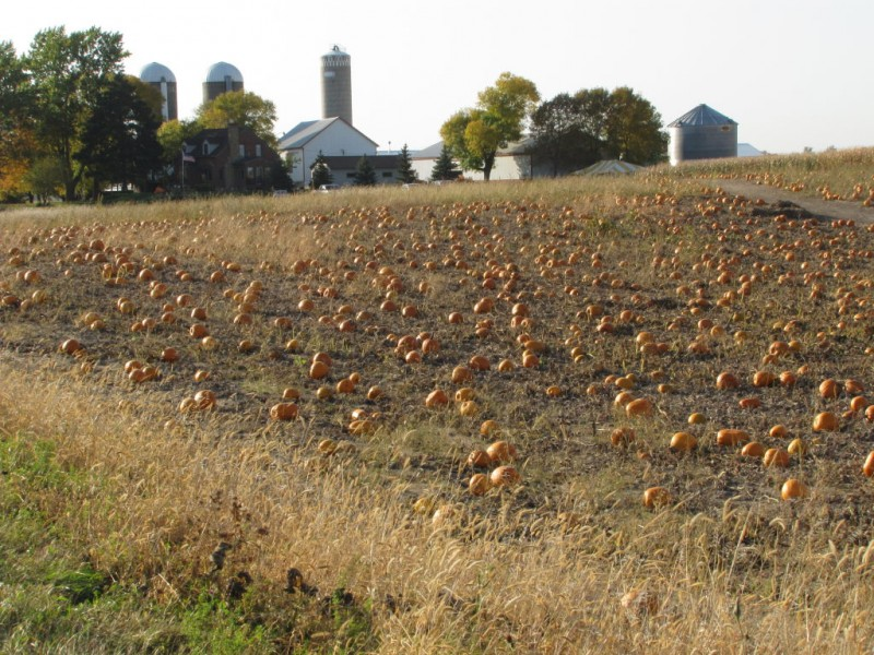 Patch pumpkin picks in and around maple grove