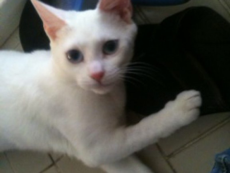 Blue Eyed White Kitten For Adoption Pacific Palisades