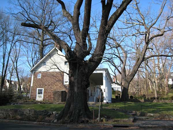 Maple Wood Tree ~ A passion for trees maplewood nj patch