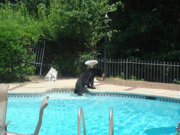 Essex county bear takes a dip in backyard pool millburn nj patch for Bears in swimming pool new jersey