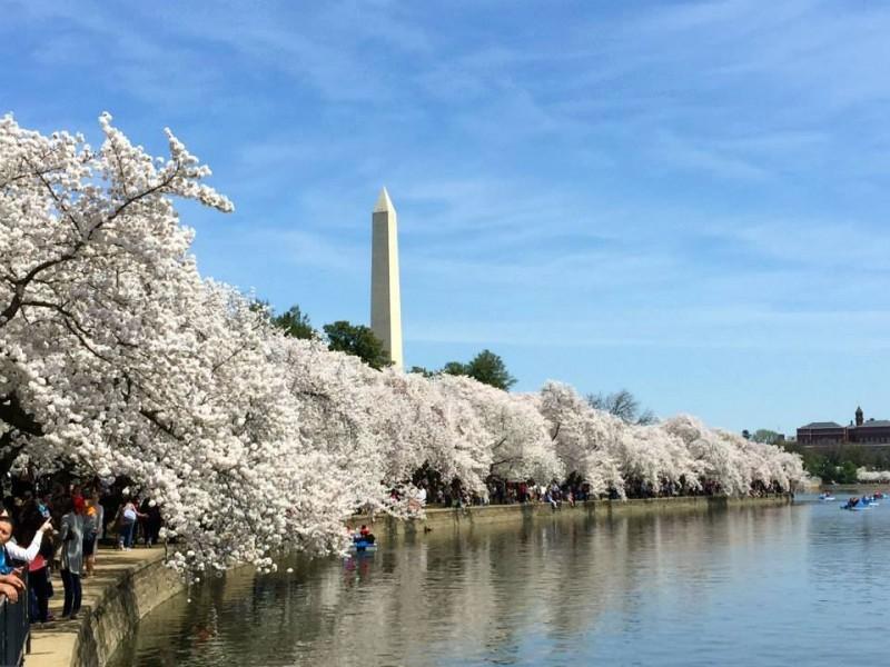 Cherry blossom dc dates