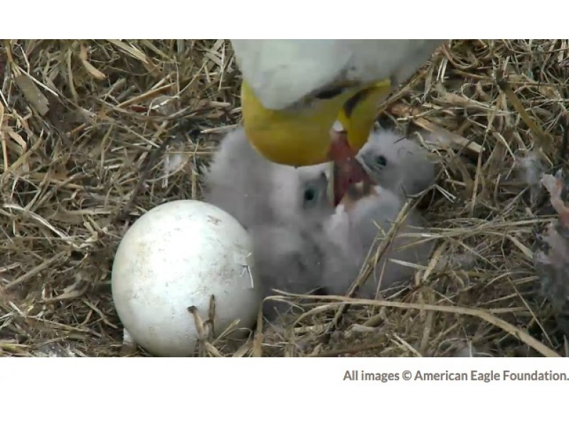 Watch Live] Washington D.C. Bald Eagle Cam: 2 Eaglets - A New Level ...