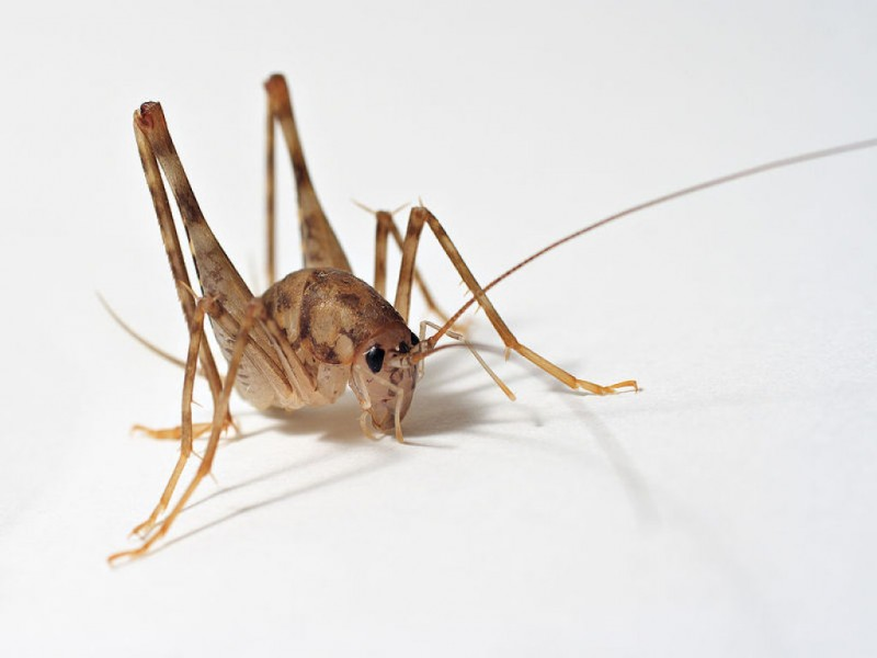 stop camel crickets from invading your home malverne ny patch