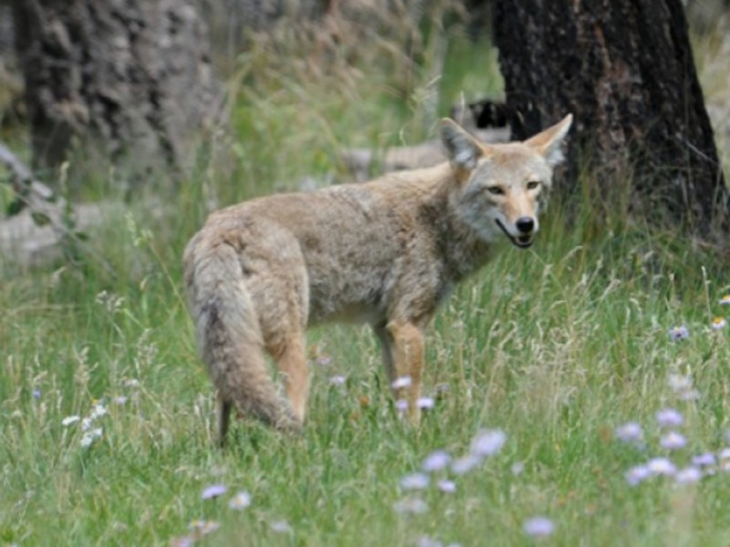 Town Of Londonderry Nh >> Police Issue Coyote Alert in Merrimack - Merrimack, NH Patch