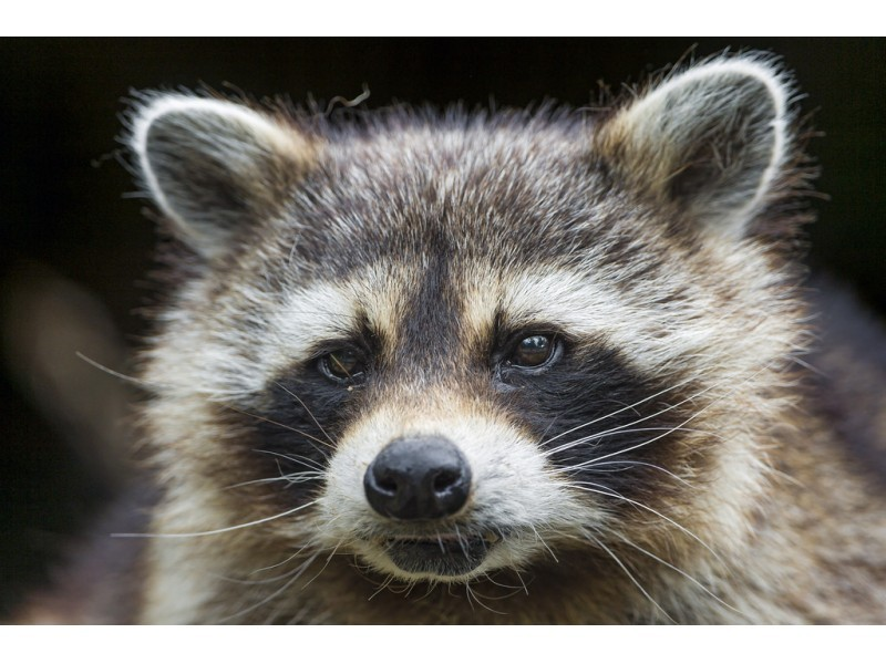 Rabid Raccoon Reported in Dundalk | Patch Raccoon With Rabies