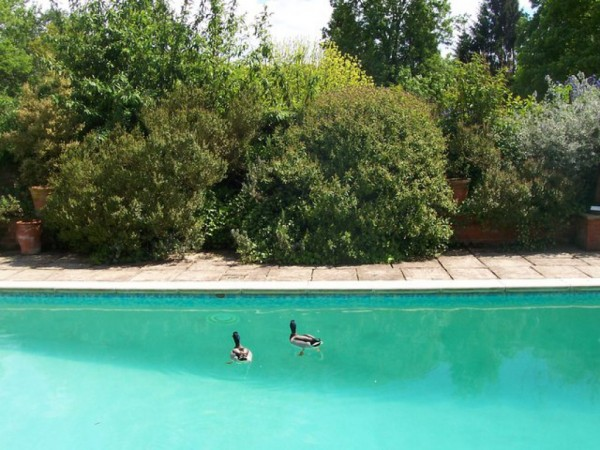 Swimming with Ducks May Be Hazardous to Your Health ...