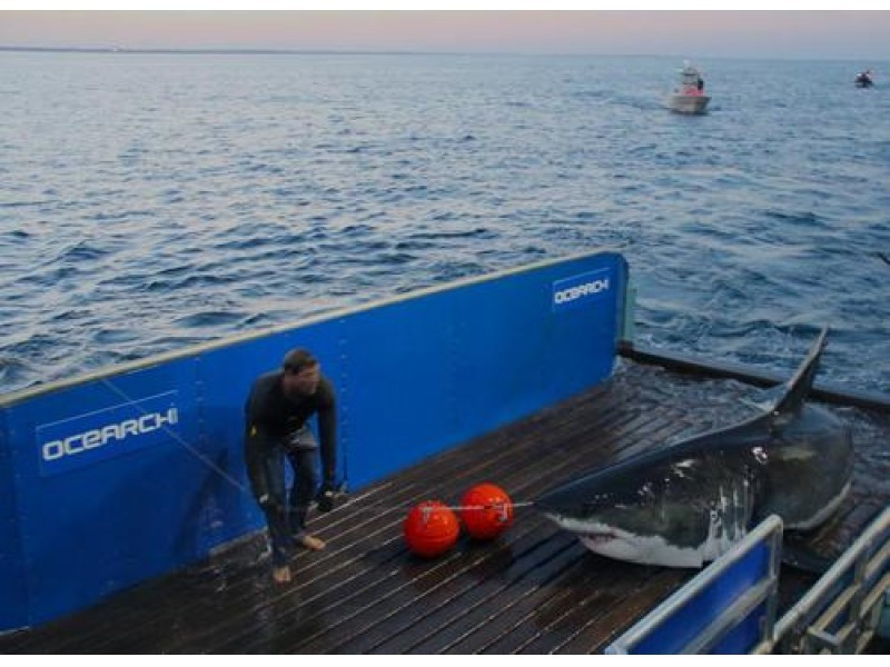 3 400 pound great white shark visiting long island for Fishing jobs near me