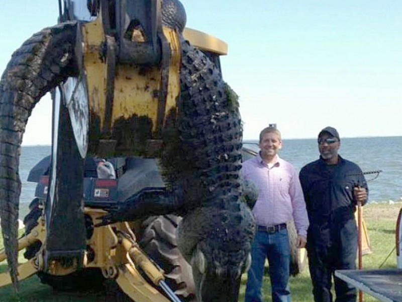 Giant alligator found at lake moultrie mount pleasant for Lake moultrie fishing