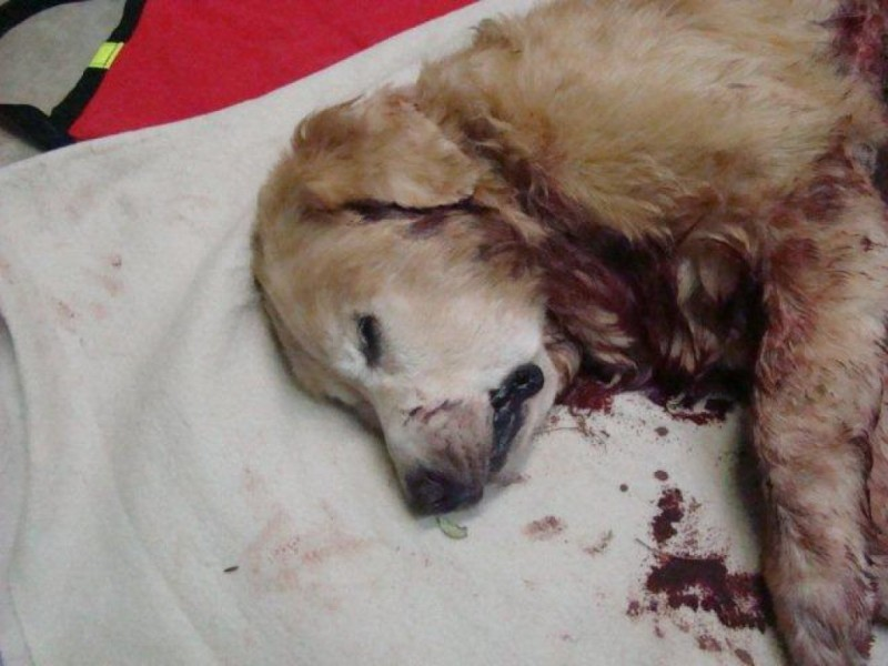 Police Kill 12 Year Old Golden Retriever St Pete Fl Patch
