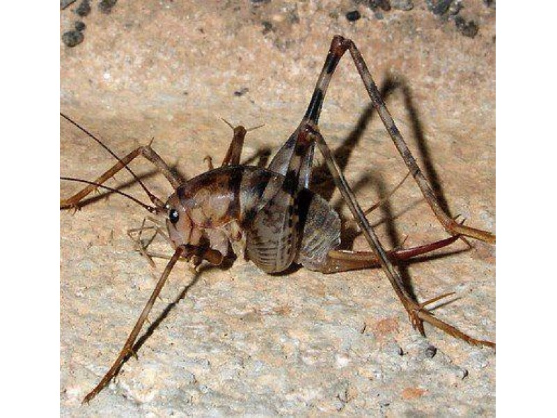 Stop camel crickets from invading your home garden city for How to stop spiders entering your house
