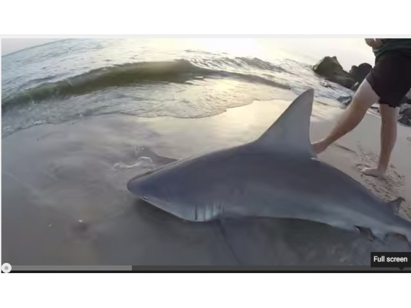 Watch more videos capture sharks at jersey shore brick for Jersey shore fishing