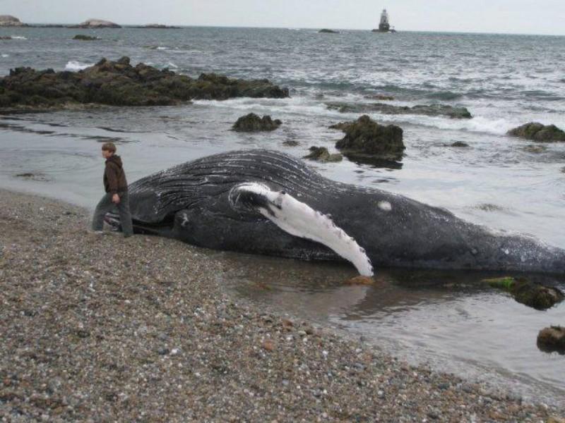 Block Island Beached Whale