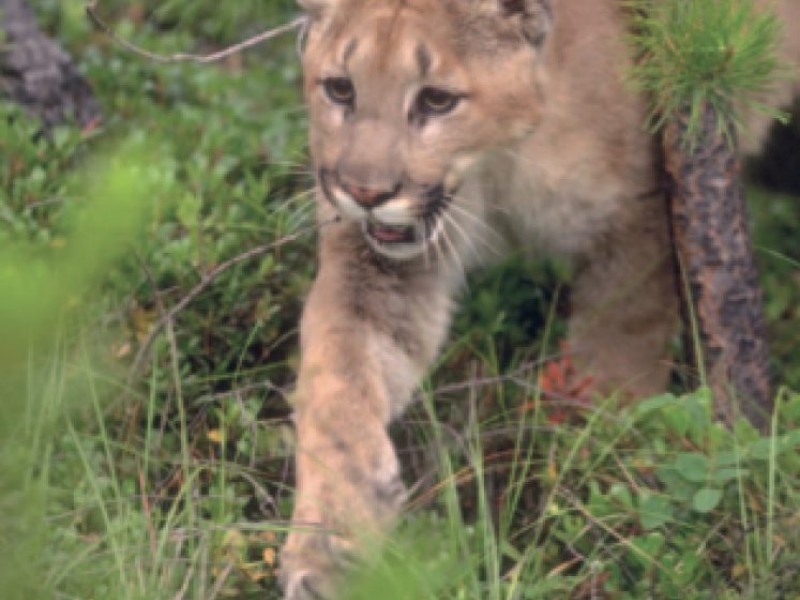Lion Kills Dog Video