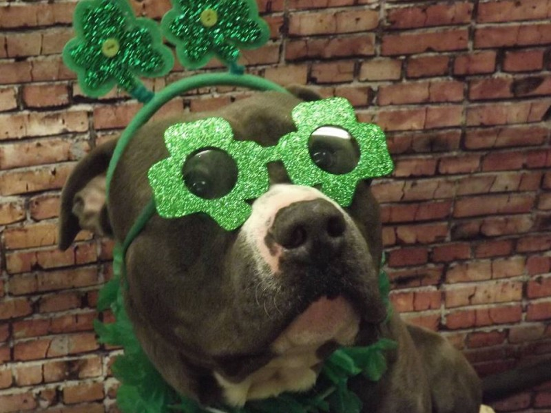 23 Dogs Ready For Saint Patrick's Day! [GALLERY] - Dogtime American Water Spaniel Dogtime