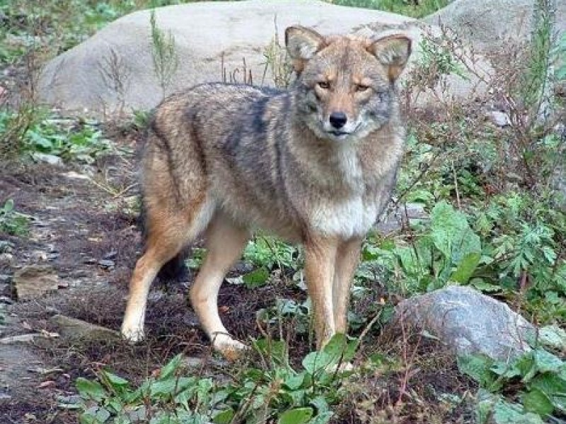 Coyote Wolf Hybrid Confronts Hikers Sandy Hook Principal