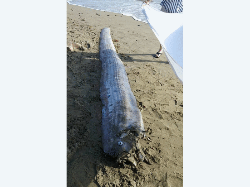 Elusive 39 serpent of the deep 39 washes ashore laguna for Deep sea fishing dana point